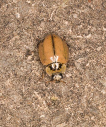 Aphidecta obliterata  - Claude Champarnaud