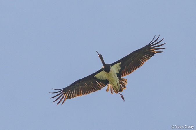 Cigogne noire  - Yves Geay
