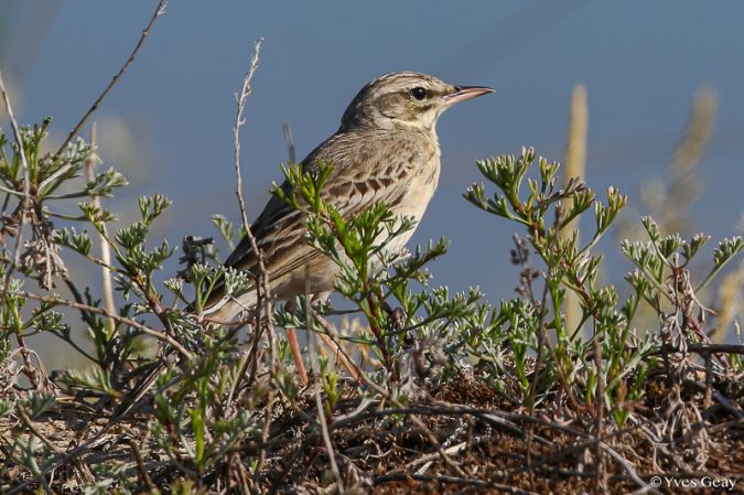 Pipit rousseline  - Yves Geay