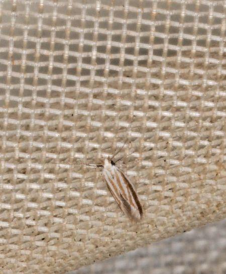 Coleophora indéterminé  - Claude Champarnaud