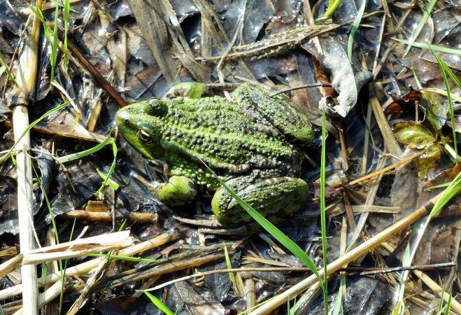 Grenouille verte indéterminée (Pelophylax sp.)  - Réjane Pâquereau