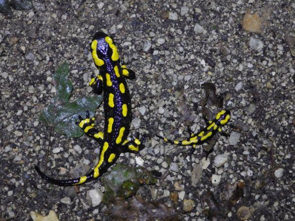 Salamandre tachetée (S.s.terrestris)  - Olivier Drillon