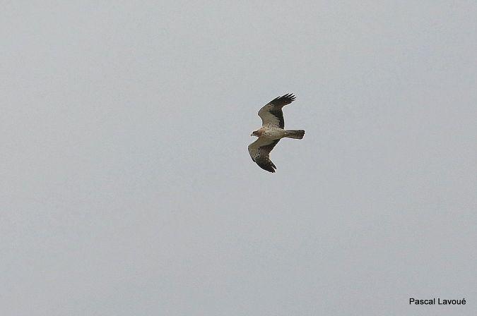 Aigle botté  - Pascal Lavoué