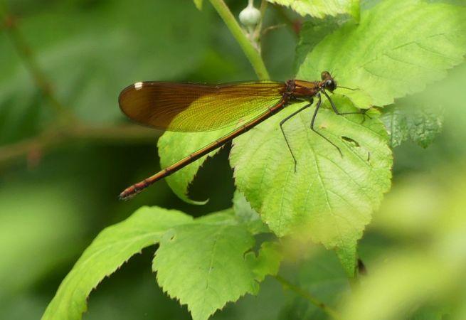 Caloptéryx hémorroïdal  - Réjane Pâquereau