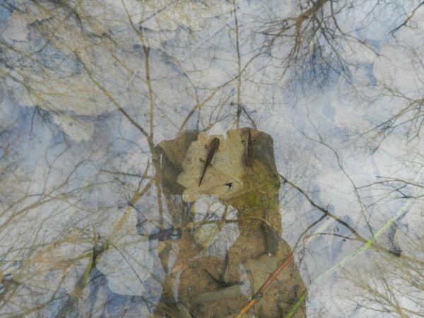 Salamandre tachetée (S.s.terrestris)  - Monique et Albert Brun