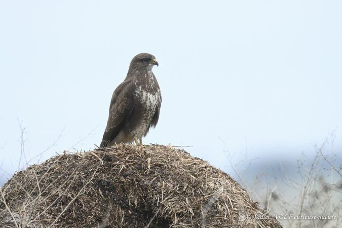 Buse variable  - Didier Wolf