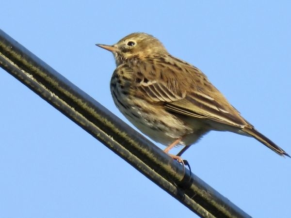 Pipit farlouse  - Paul Mcandrew