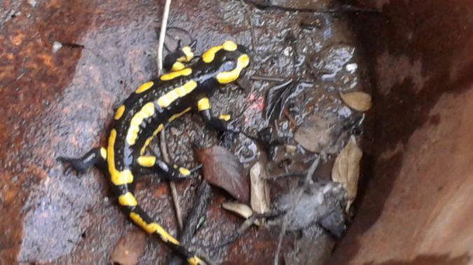 Salamandre tachetée (S.s.terrestris)  - Jacqueline Marthon