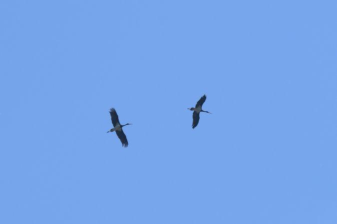 Cigogne noire  - Nicolas Savoye