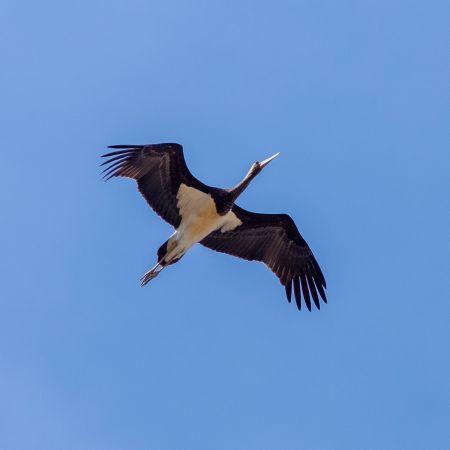 Cigogne noire  - Didier Wolf