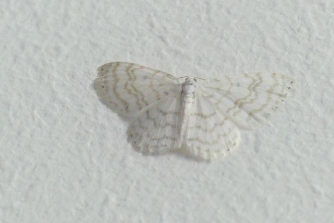 Asthena albulata  - Florent Besson