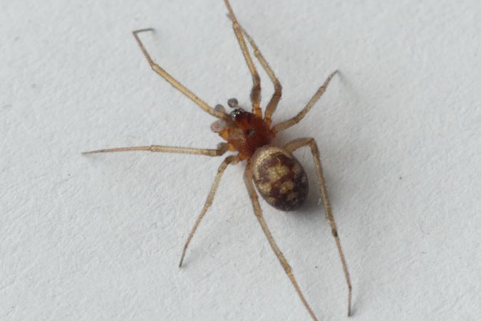 Steatoda grossa  - Florent Besson
