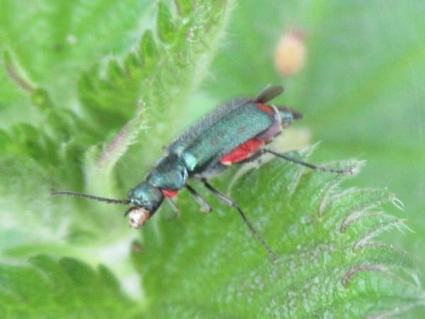 Malachius bipustulatus  - Dominique Goyard