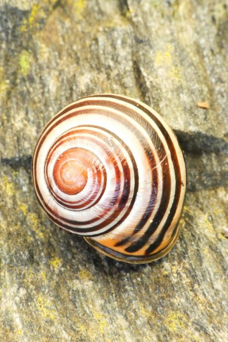 Escargot des haies  - Florent Besson