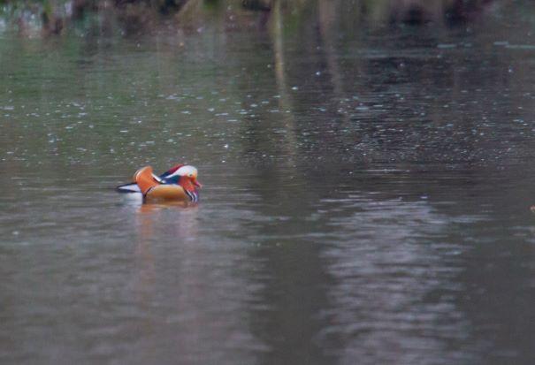 Canard mandarin  - Christophe Mercier