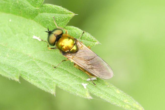 Chloromyia formosa  - Florent Besson