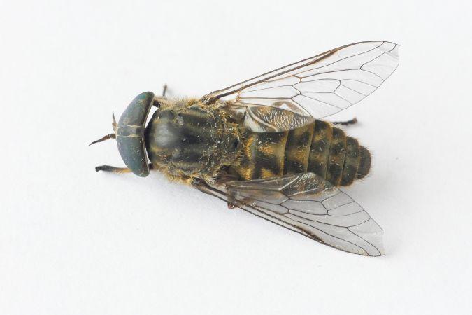 Tabanidae sp.  - Florent Besson
