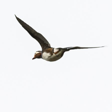 Canard mandarin  - Jean-Luc Coupeau