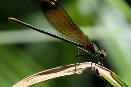 Caloptéryx hémorroïdal  - Jean-Michel Faton