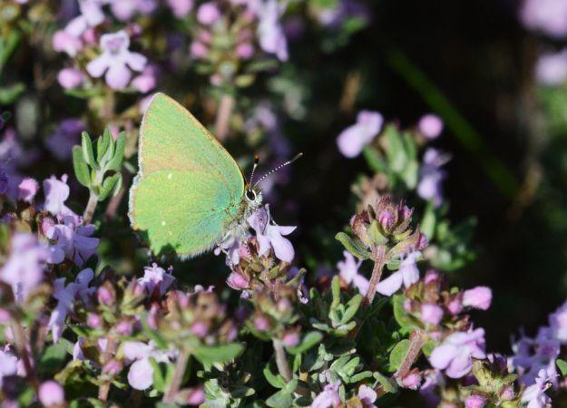 Argus vert  - Sylvère Corre