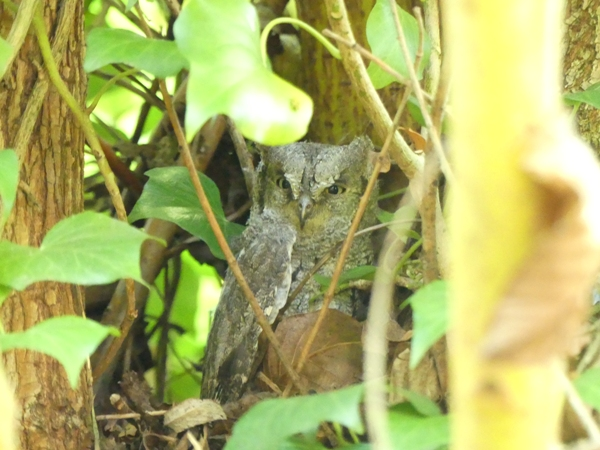 Petit-duc scops  - Gilbert David