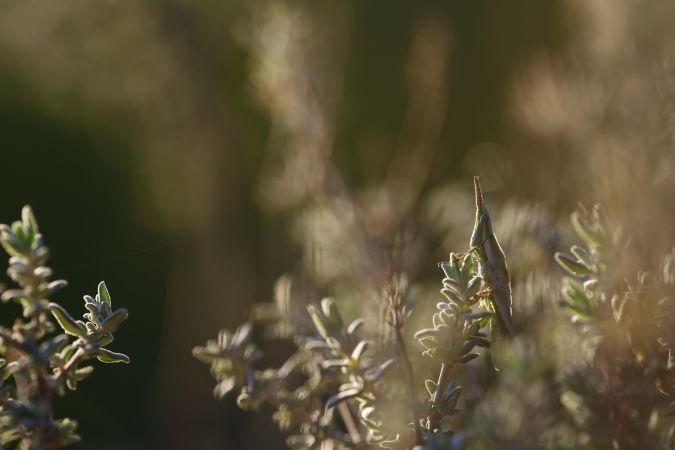 Pyrgomorphe à tête conique (P. c. conica)  - Germain Poignant