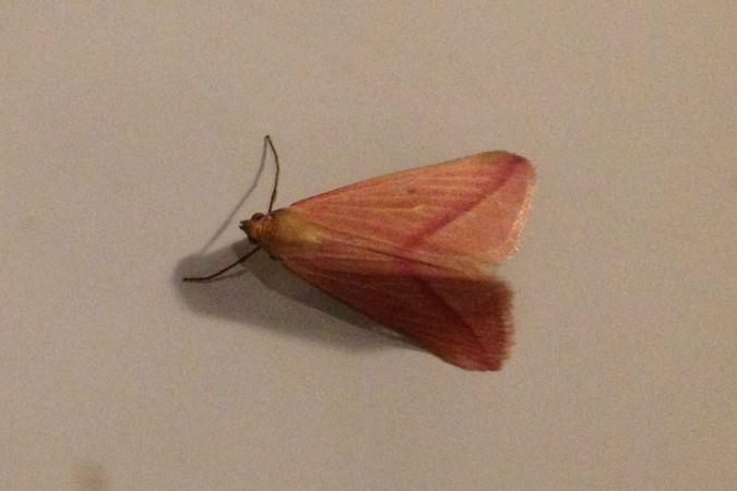 Rhodometra sacraria  - Céline .
