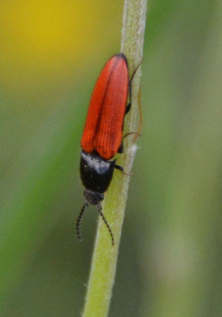 Ampedus (Ampedus) cinnaberinus  - Jean Philippe Grèzes