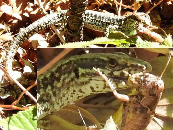Common Wall Lizard  - Christian Widmann