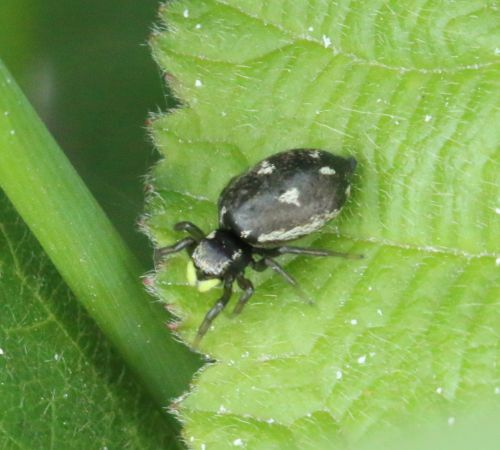 Heliophanus apiatus  - Thiery Louvel