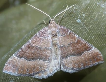 Larentia clavaria  - Laurent Pelozuelo