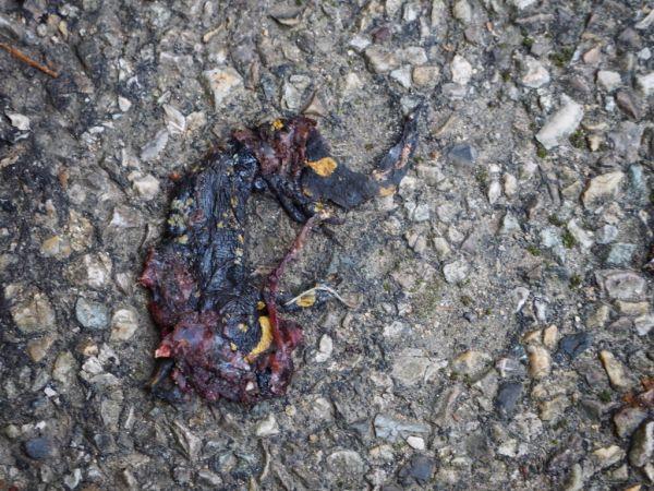 Salamandre tachetée  - Francis Magnard