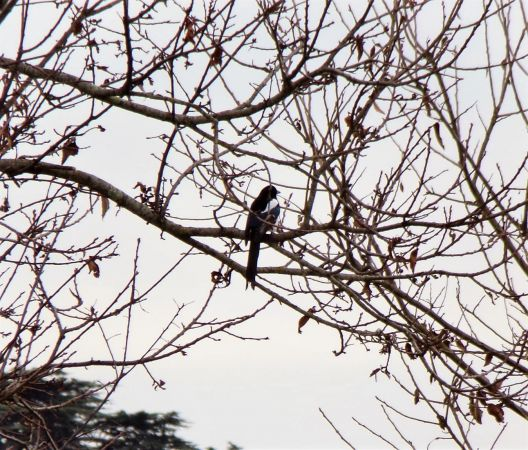 Eurasian Magpie  - Murielle Desrois