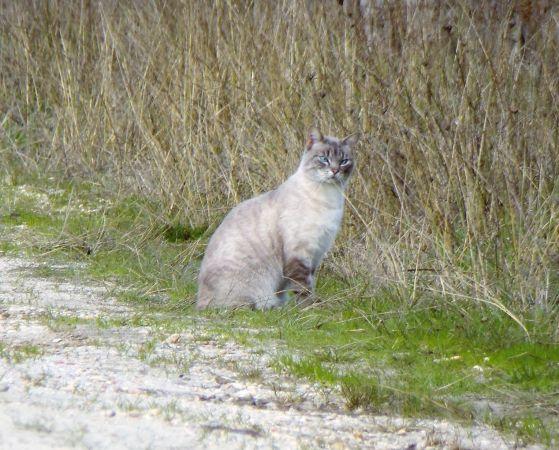 Domestic Cat  - Murielle Desrois