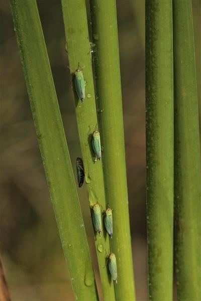 Cicadelle verte  - Guy Bourderionnet