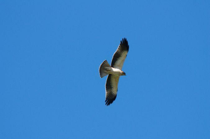 Aigle botté  - Michel Lefebvre