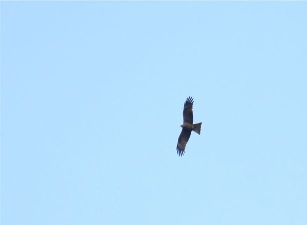 Black Kite  - Fabrice Duserre