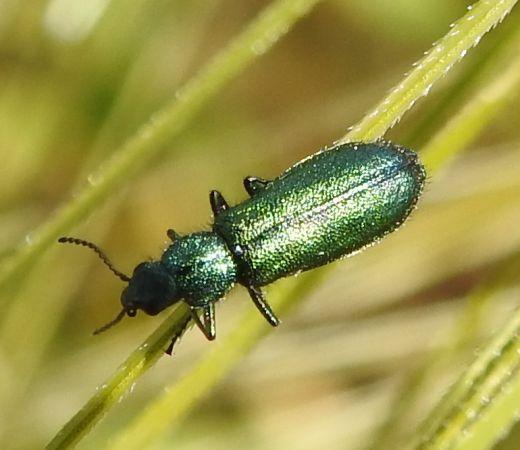 Psilothrix viridicoerulea  - Antoinette Fleixas