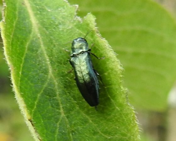 Agrilus cyanescens  - Antoinette Fleixas