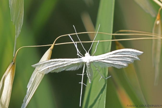 Ptérophore blanc  - Frederic Coulon