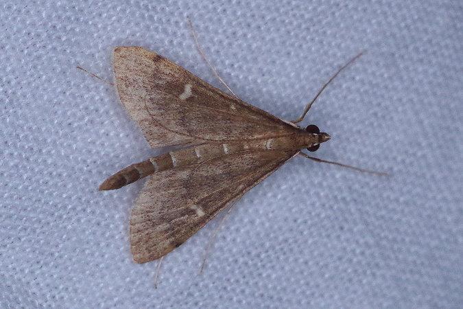 Dolicharthria punctalis  - Céline .