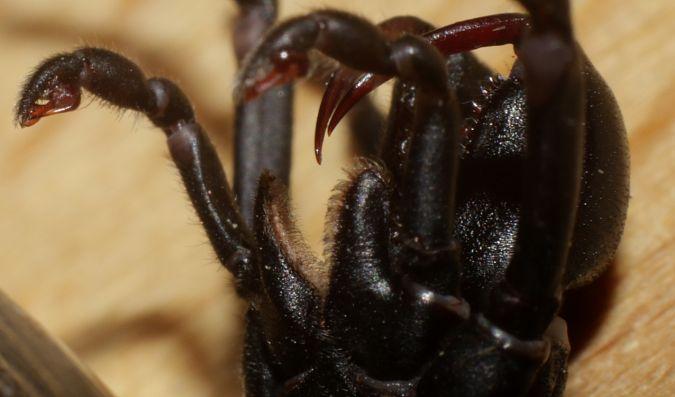 Mygale à chaussette indéterminée