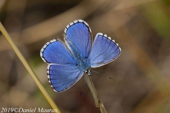 Argus (Azuré) bleu céleste  - Daniel Mauras