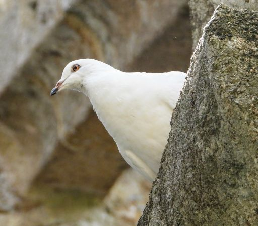 Pigeon biset domestique  - Jeanne Fornalik