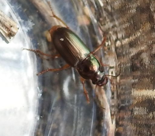 Harpalus affinis  - Dominique Ceylo