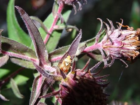 Lygus pratensis  - Catherine Bonhomme