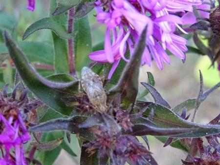 Rhopalus (Rhopalus) subrufus  - Catherine Bonhomme