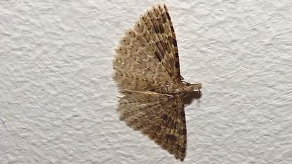 Alucita hexadactyla  - Daniel Havet