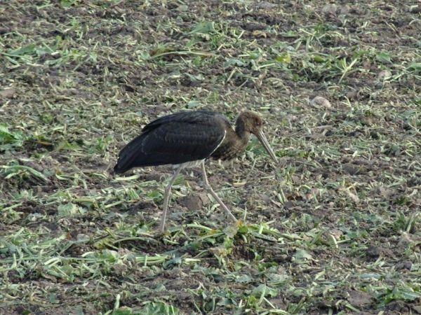 Cigogne noire  - Robert Laub