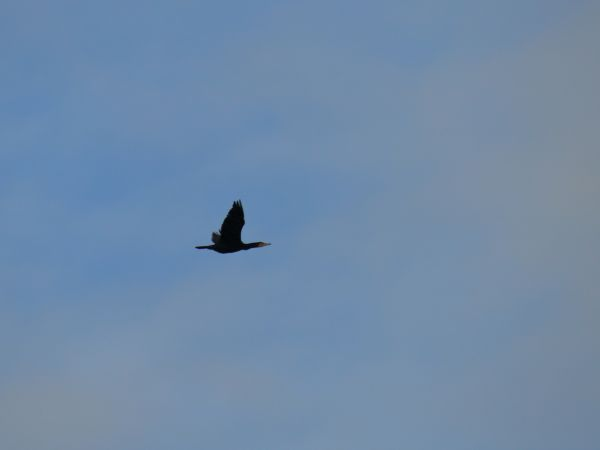 Great Cormorant  - Alain Vinas